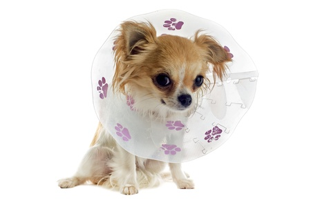 a chihuahua wearing a protective veterinary collar after a surgical operation photo