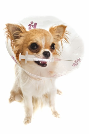 a chihuahua wearing a protective veterinary collar after a surgical operation and holding a sting photo