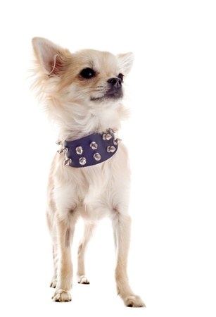 spiked hair: portrait of a cute purebred chihuahua with studded collar in front of white background