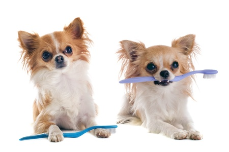 dog teeth: portrait of  purebred  chihuahuas with toothbrush  in front of white background