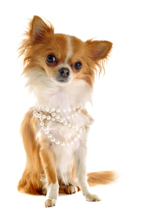 long hair chihuahua: portrait of a cute purebred chihuahua with pearl collar in front of white background