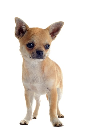 portrait of a cute purebred  puppy chihuahua in front of white background photo