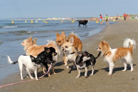 kampfhund: Portrait of a cute reinrassige Chihuahuas am Strand Lizenzfreie Bilder