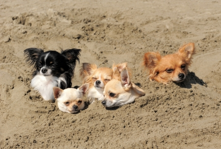 bury: portrait of a cute purebred  chihuahuas in the sand
