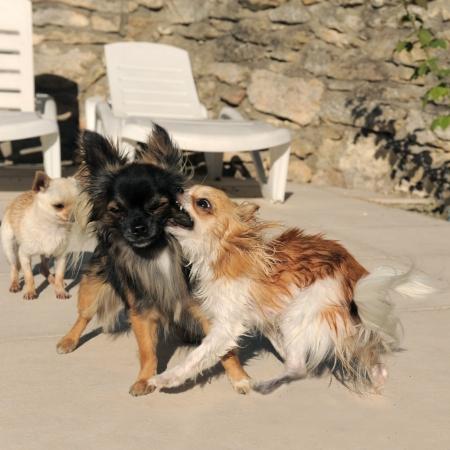 kampfhund: Portrait of a cute reinrassige Chihuahuas drei kämpfen