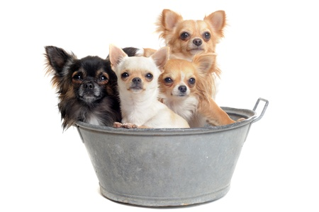 portrait of purebred  chihuahuas in front of white background photo