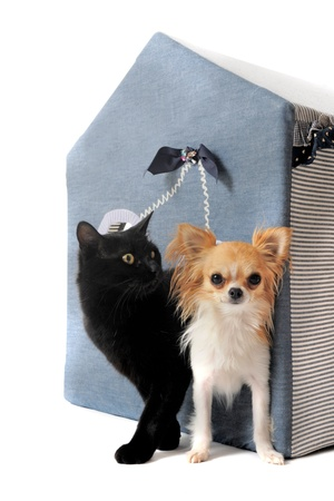 portrait of a black cat and a chihuahua  in front of white background photo