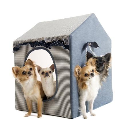 casa de perro: retrato de una raza pura chihuahuas lindo delante de fondo blanco