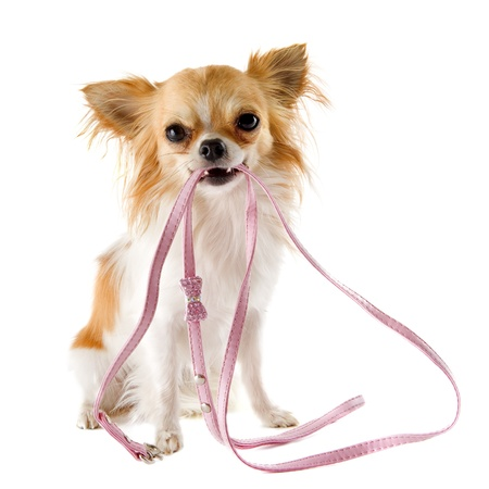 dog leash: portrait of a cute purebred  chihuahua who holding a leash in front of white background Stock Photo