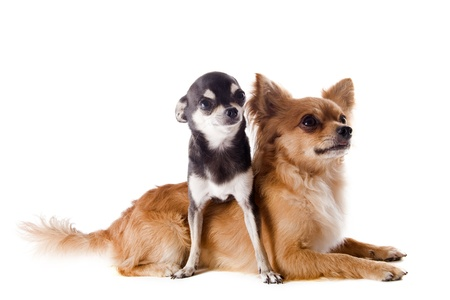 portrait of a cute purebred  puppy and adult chihuahuas in front of white background Stock Photo - 14512164