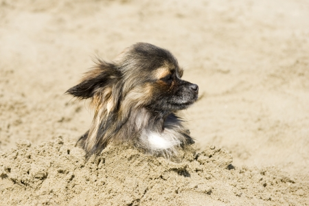 head in the sand: portrait of a cute purebred  chihuahua  in the sand