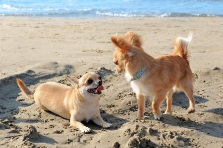 cane chihuahua: ritratto di un chihuahua di razza pura carino sulla spiaggia