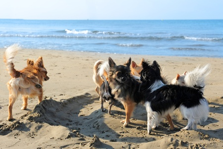 urinating: portrait of a cute purebred  chihuahuas on the beach Stock Photo