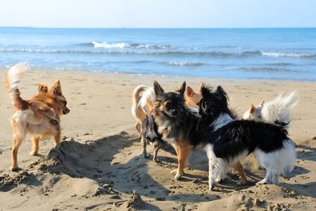 portret van een leuke raszuivere chihuahuas op het strand Stockfoto