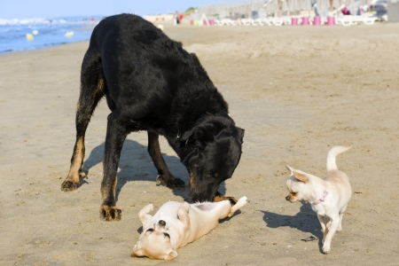 submissiveness: portrait of a cute purebred  chihuahuas and french shepherd on the beach