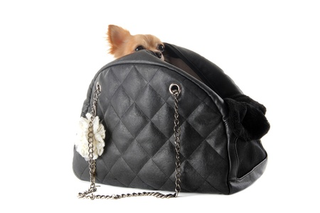 bashfulness: travel bag with chihuahua in front of white background