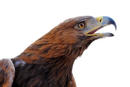 golden eagle: Portr�t einer Steinadler, Aquila chrysaetos vor wei�em Hintergrund Lizenzfreie Bilder