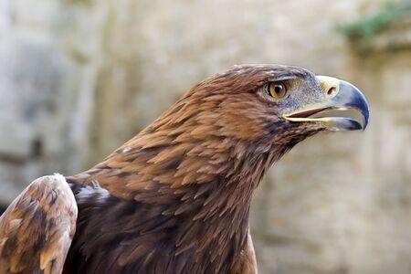 chrysaetos: portrait of a Golden Eagle ,Aquila chrysaetos  Stock Photo