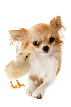 sociability: portrait of a cute purebred chihuahua with a chick in front of white background