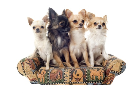 cute chihuahuas on a sofa in front of white background photo