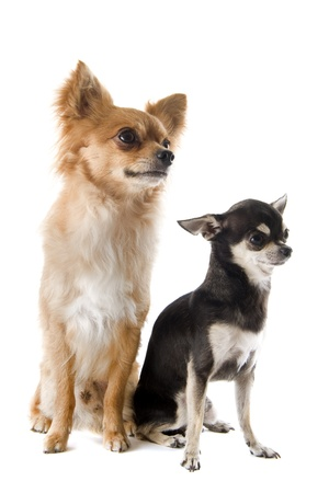 portrait of two purebred chihuahuas in front of white background Stock Photo - 14702343