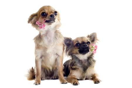 portrait of a cute purebred chihuahuas with flowers in front of white background photo