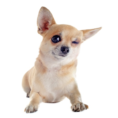wink of  purebred  puppy chihuahua in front of white background photo