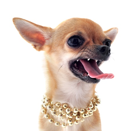 portrait of a angry  purebred chihuahua with pearl collar in front of white background