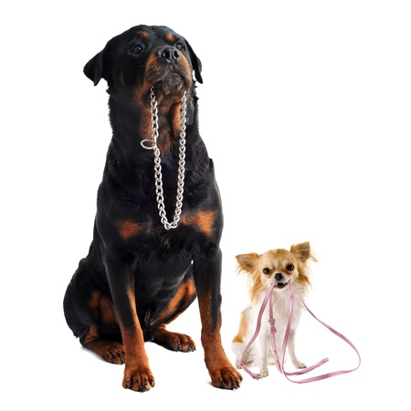 portrait of a cute purebred  chihuahua and rottweiler who holding a leash and a collarin front of white background