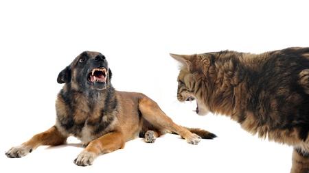 perro policia: de pura raza pastor belga malinois y un gato enojado delante de fondo blanco