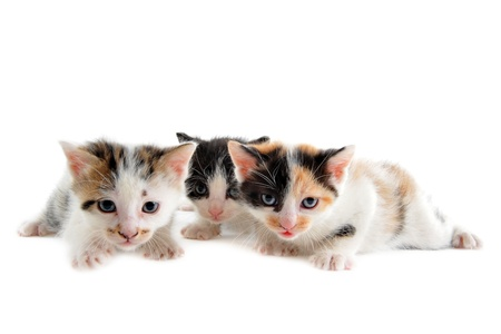 young kitten in front of white background photo