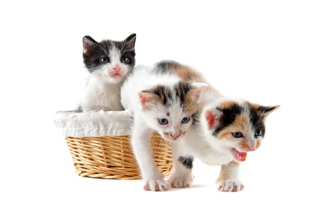 young  kitten  with basket in front of white background photo