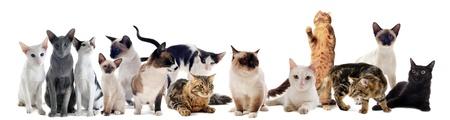 gato negro: hermosos gatos de raza pura en un fondo blanco