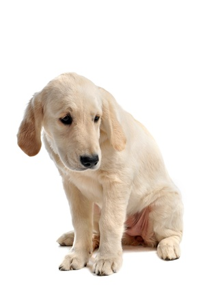 purebred sad puppy golden retriever in front of a white background