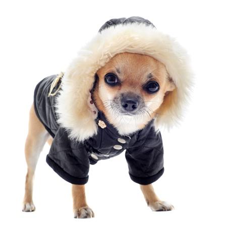 manteau de fourrure: chihuahua habill� en face de fond blanc Banque d'images