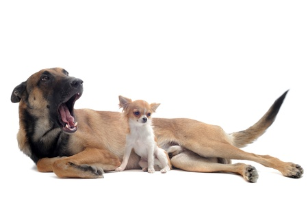 portrait of a cute purebred  puppy chihuahua and malinois in front of white background photo