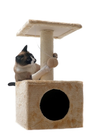 siamese cat on a scratching post Stock Photo