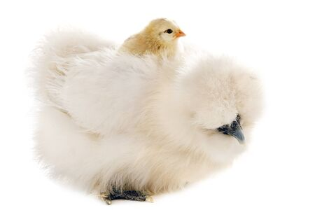 A bantam silkie whit her chick on her back on a white background photo