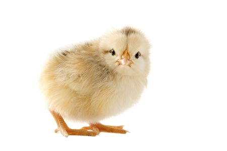 A small chick of bantam silkie on a white background Stock Photo