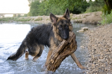 portrait of a  purebred german shepherd in the river photo