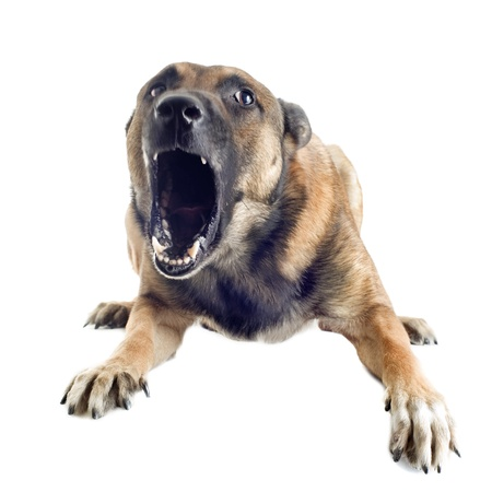 angry purebred belgian sheepdog malinois on a white background, focus on the eye photo