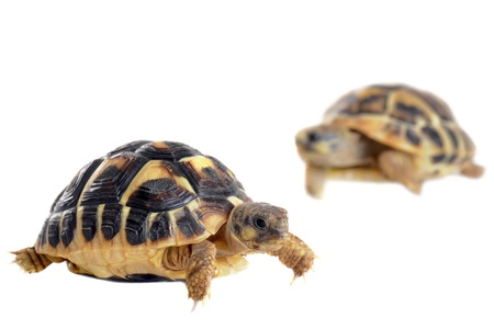 baby turtle: Two tortoises isolated on a white isolated background, focus on the first