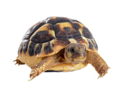 the reptile: young tortoise isolated on a white isolated background Stock Photo