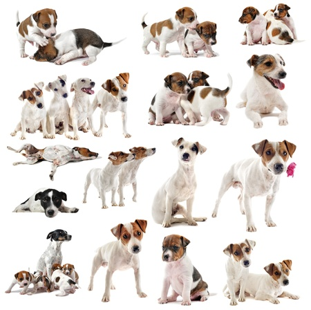 portrait of many purebred jack russel terrier in studio photo