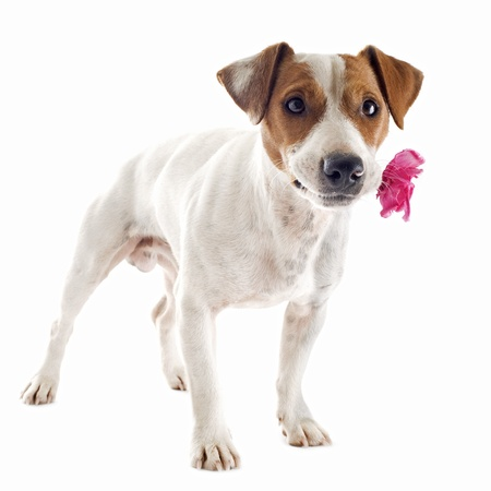 jack russel: portrait of a purebred jack russel with flower in his mouth terrier in studio Stock Photo