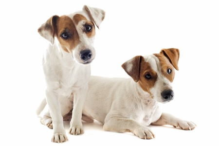 portrait of a couple of purebred jack russel terrier in studio photo