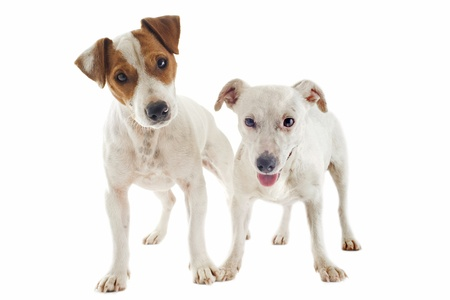 jack russel: portrait of two purebred jack russel terrier in studio Stock Photo