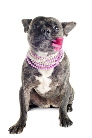 portrait of a purebred french bulldog  with flower in studio photo