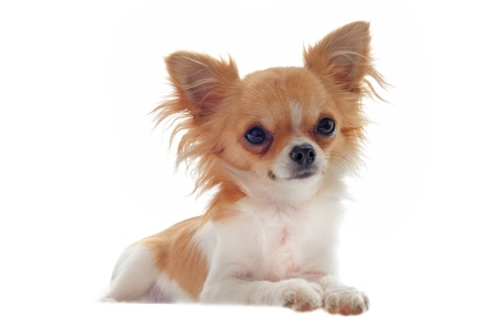 chihuahua: portrait of a cute purebred  puppy chihuahua in front of white background