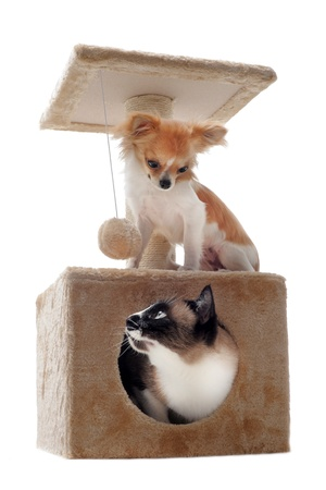 siamese cat in a scratching post with a purebred chihuahua photo